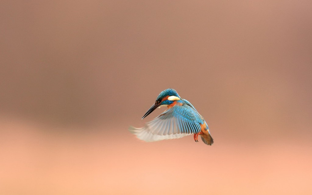 beautiful-kingfisher-38974-39869-hd-wallpapers