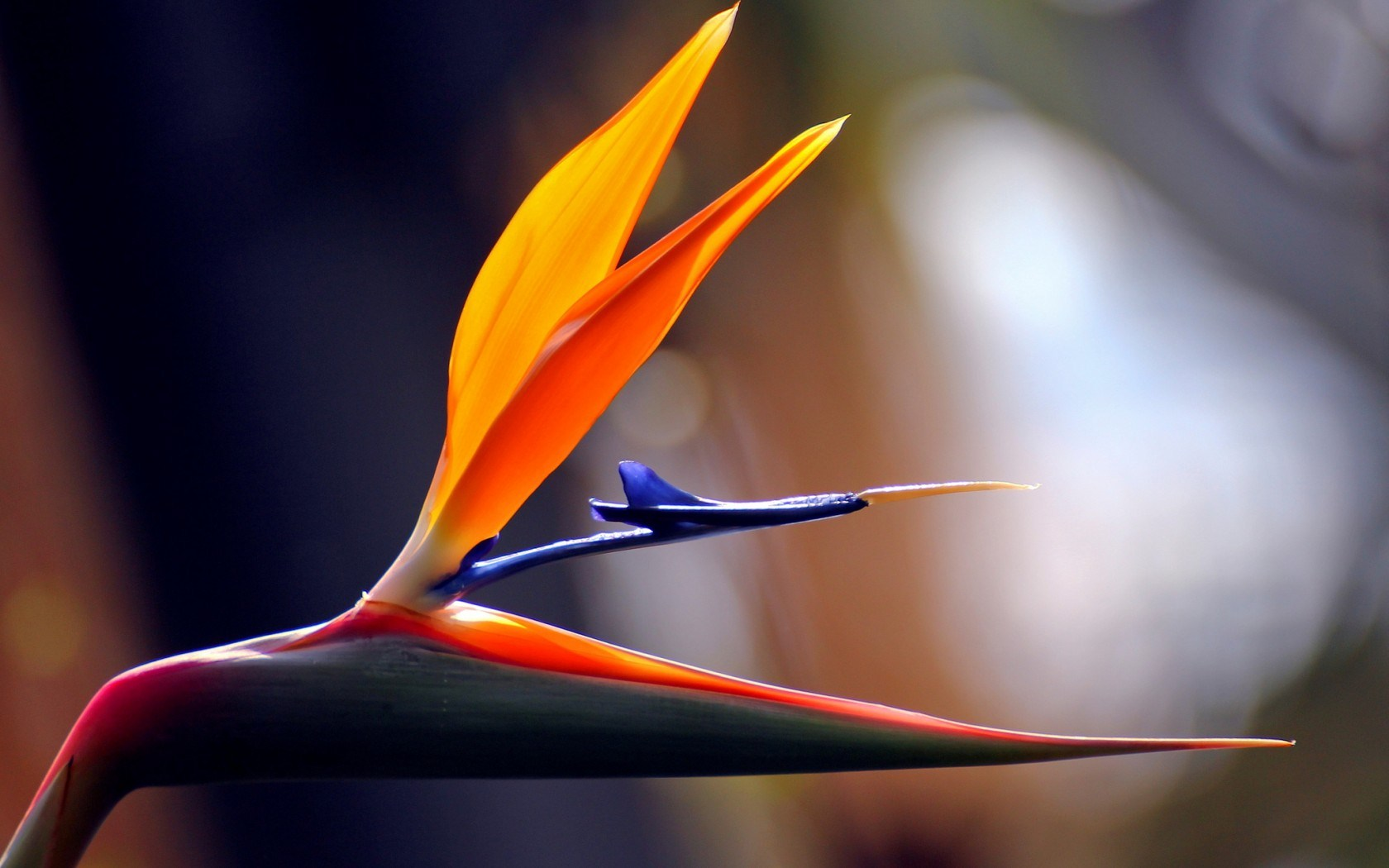4 hd bird of paradise flowers wallpapers - Hd images of birds of paradise ...
