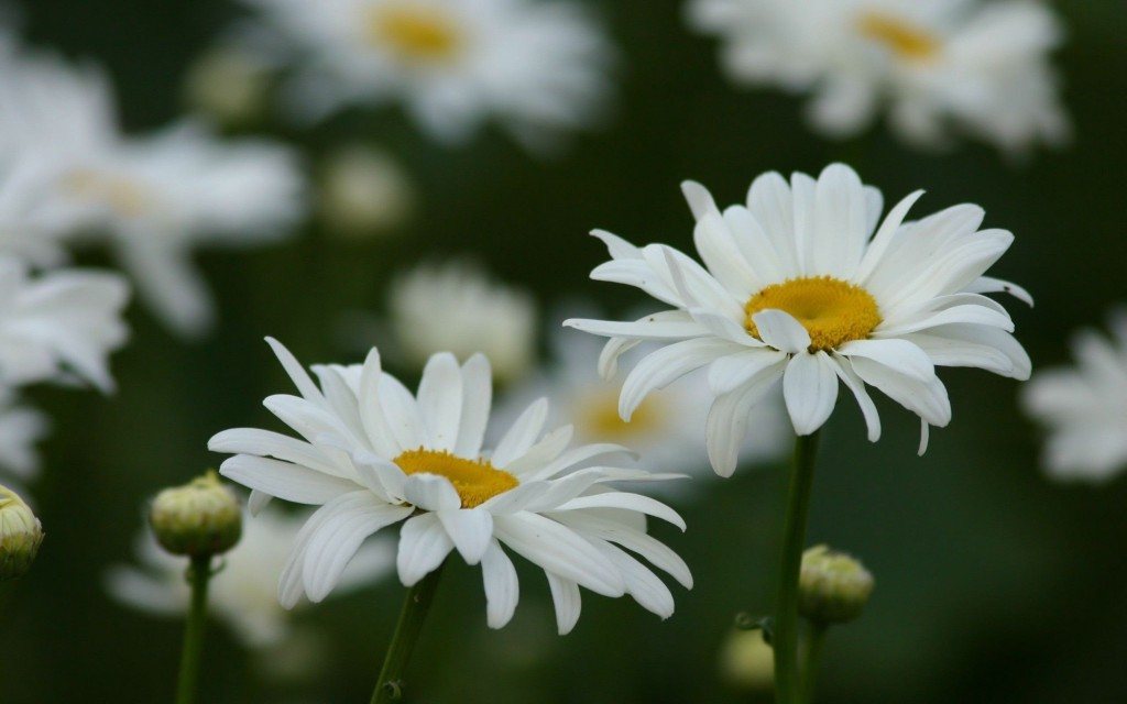 chamomile-20223-20732-hd-wallpapers