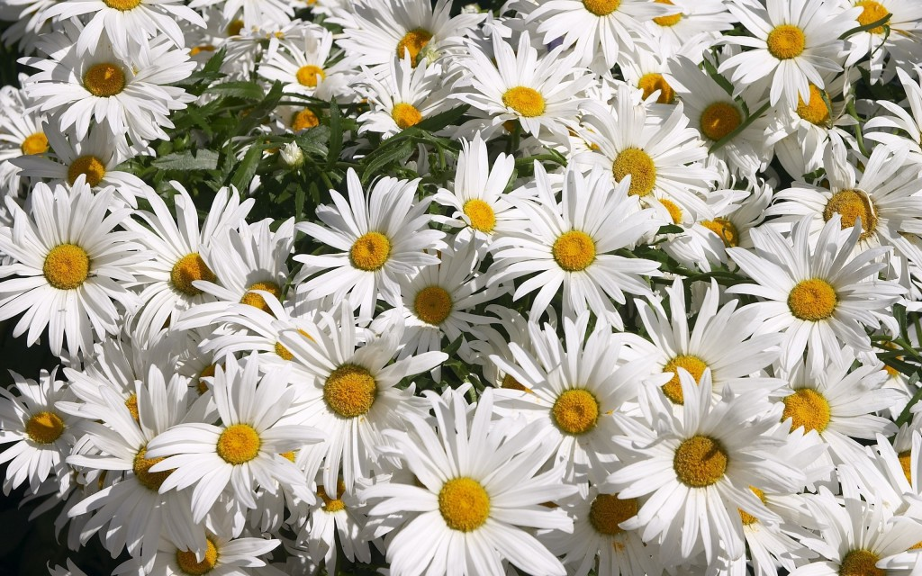 chamomile-20230-20739-hd-wallpapers