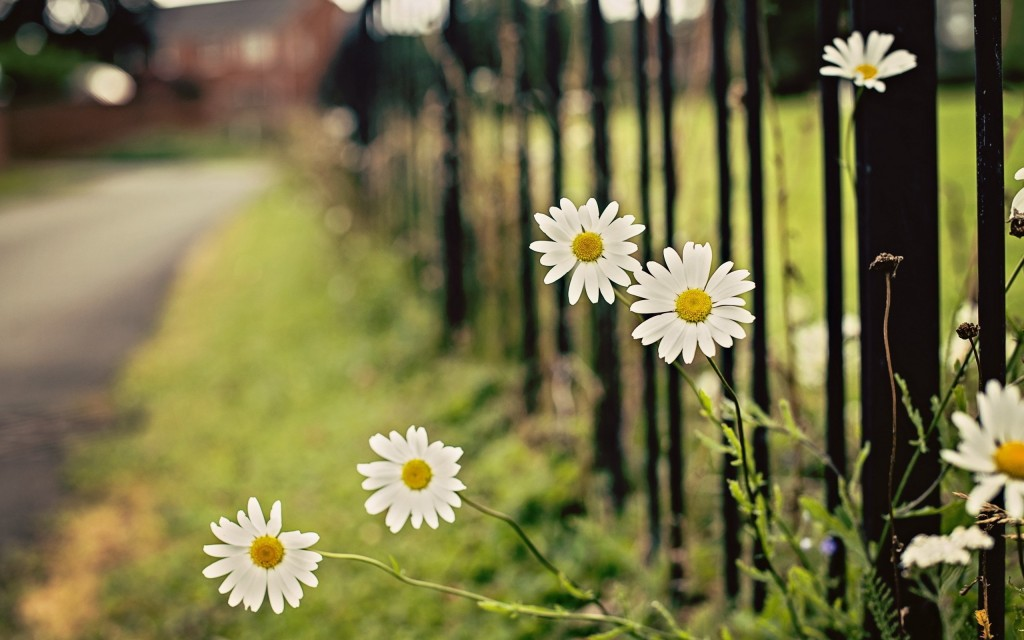 chamomile background wallpapers