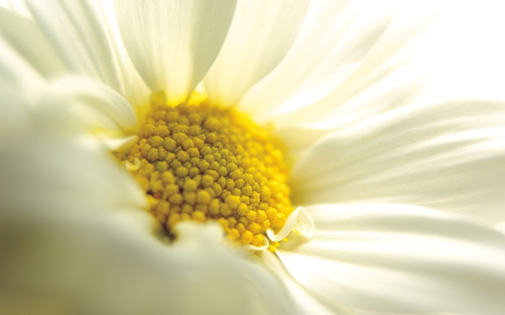 chamomile flower up close wallpapers