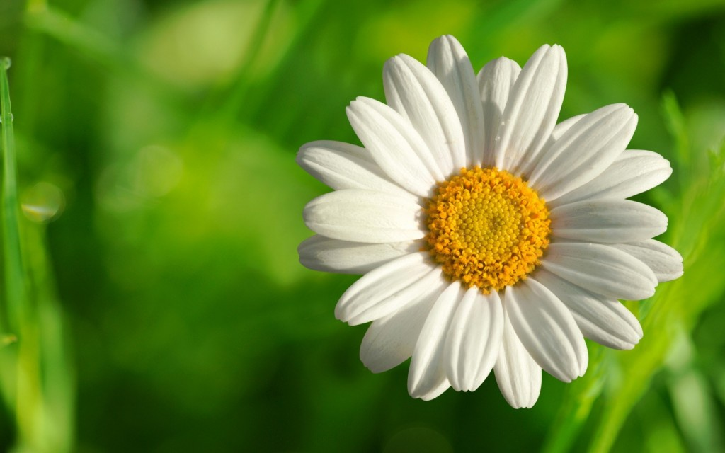 chamomile flowers wallpapers