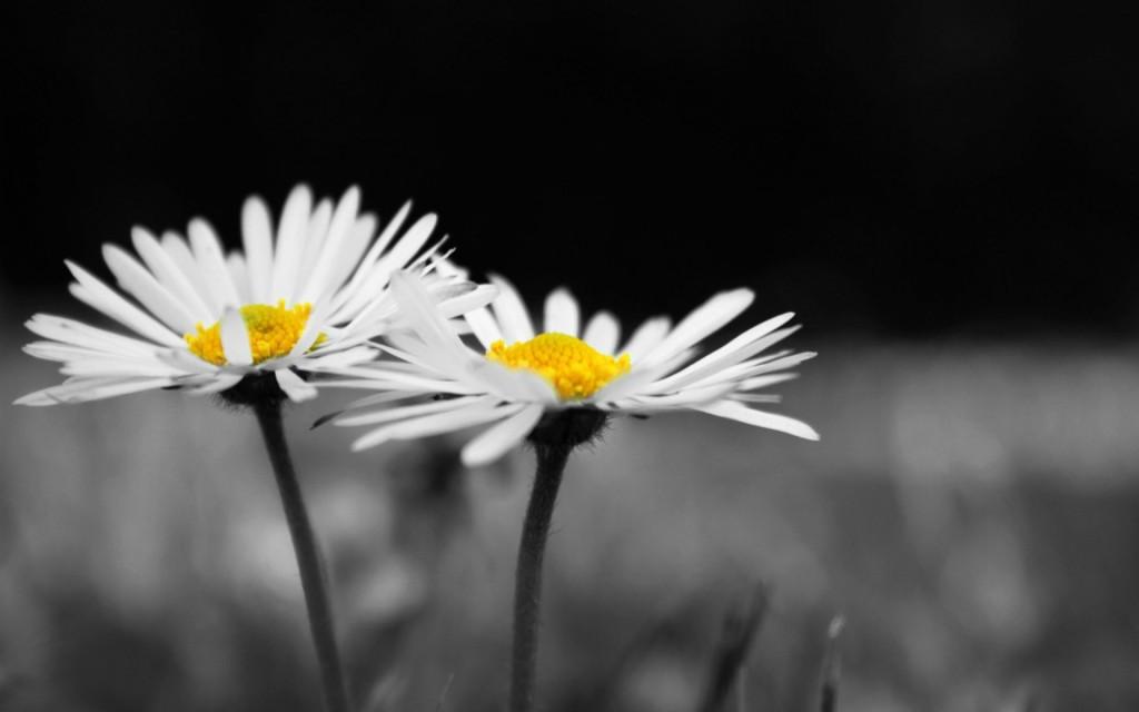 chamomile flowers desktop wallpapers