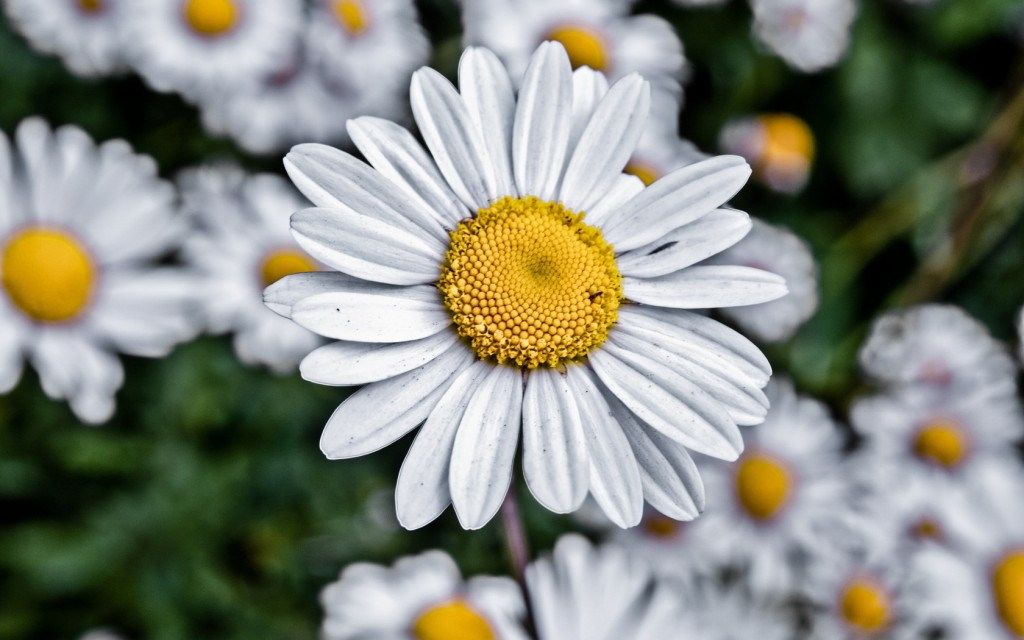 chamomile hd wallpapers