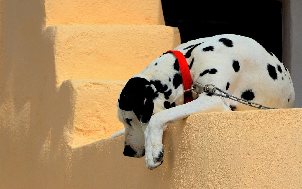 dalmatian-background-33060-33816-hd-wallpapers
