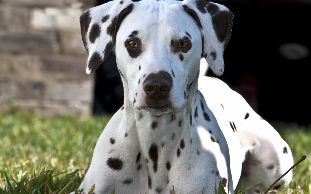 dalmatian-dog-desktop-wallpaper-50345-52036-hd-wallpapers