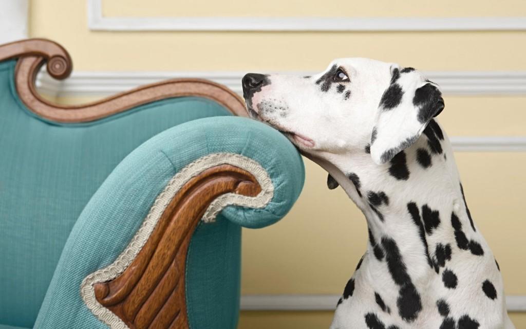 dalmatian dog desktop wallpapers