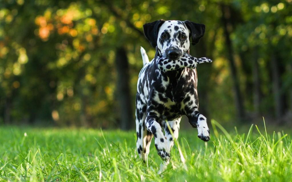 dalmatian dog wide wallpapers