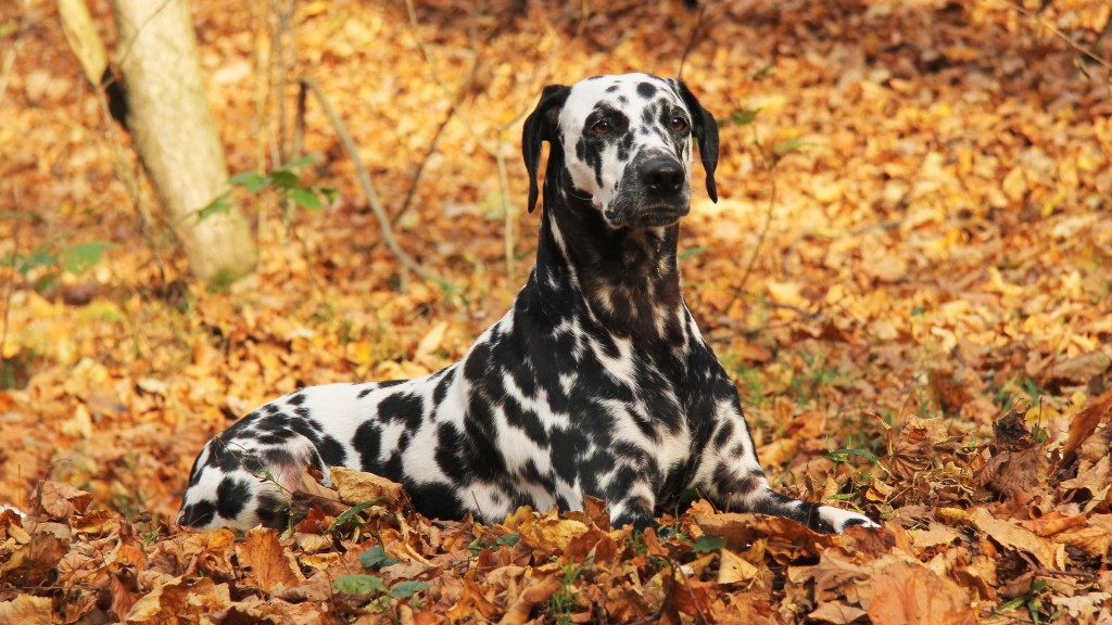 dalmatian-dog-widescreen-wallpaper-50349-52040-hd-wallpapers