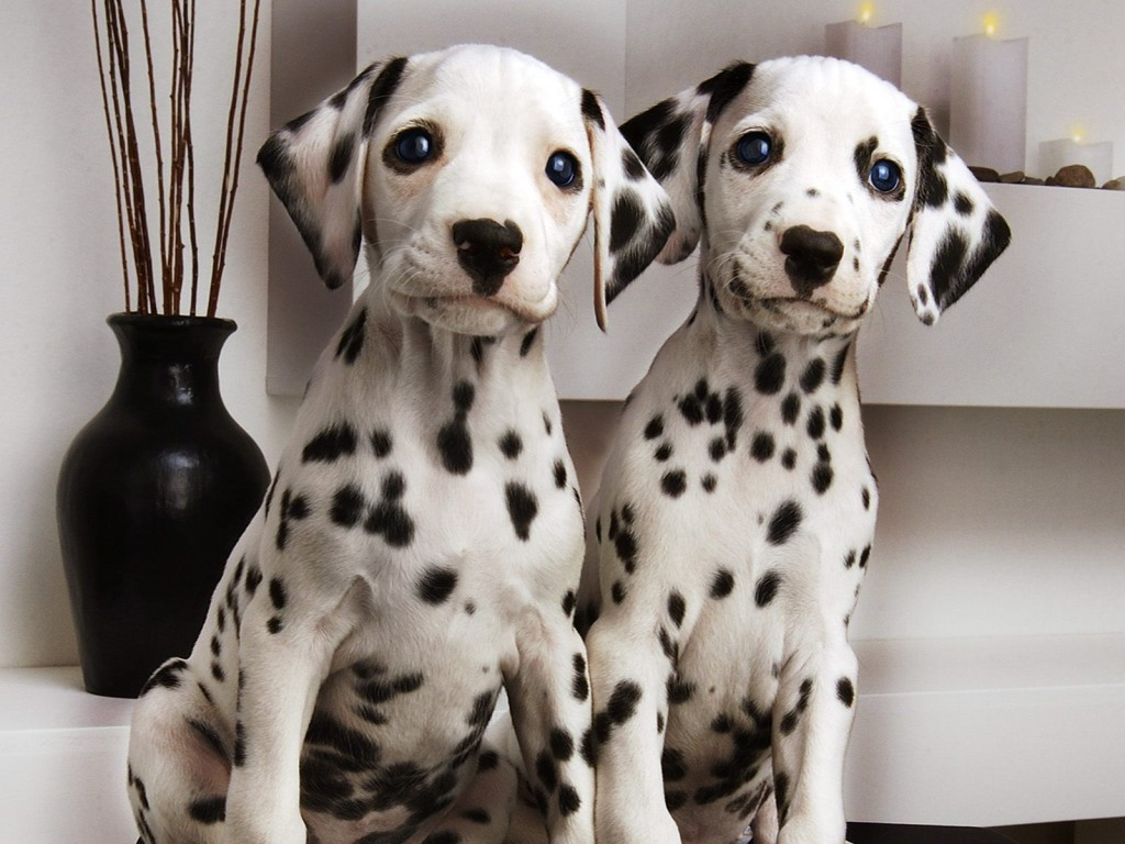 dalmatian-dogs-computer-wallpaper-50343-52034-hd-wallpapers
