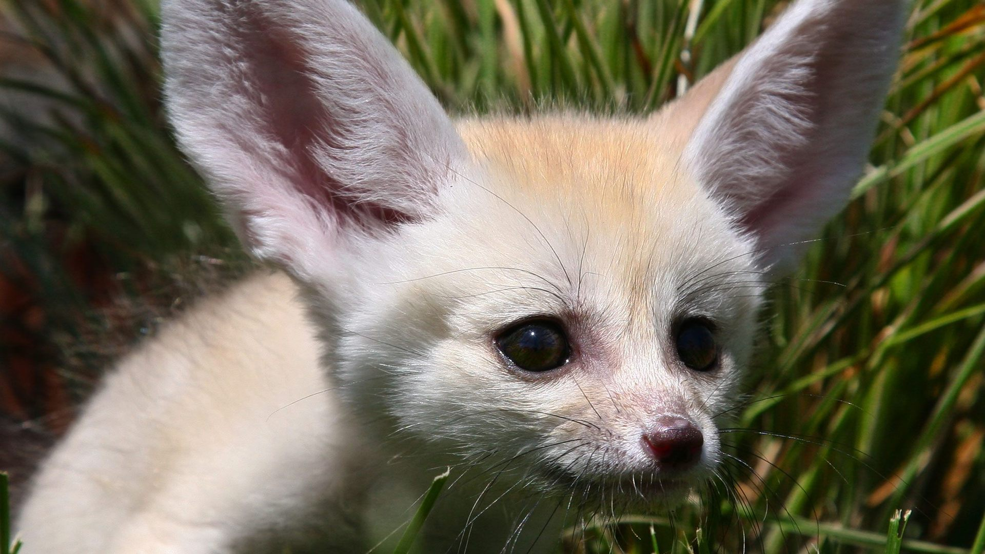 13 Excellent Hd Fennec Fox Wallpapers