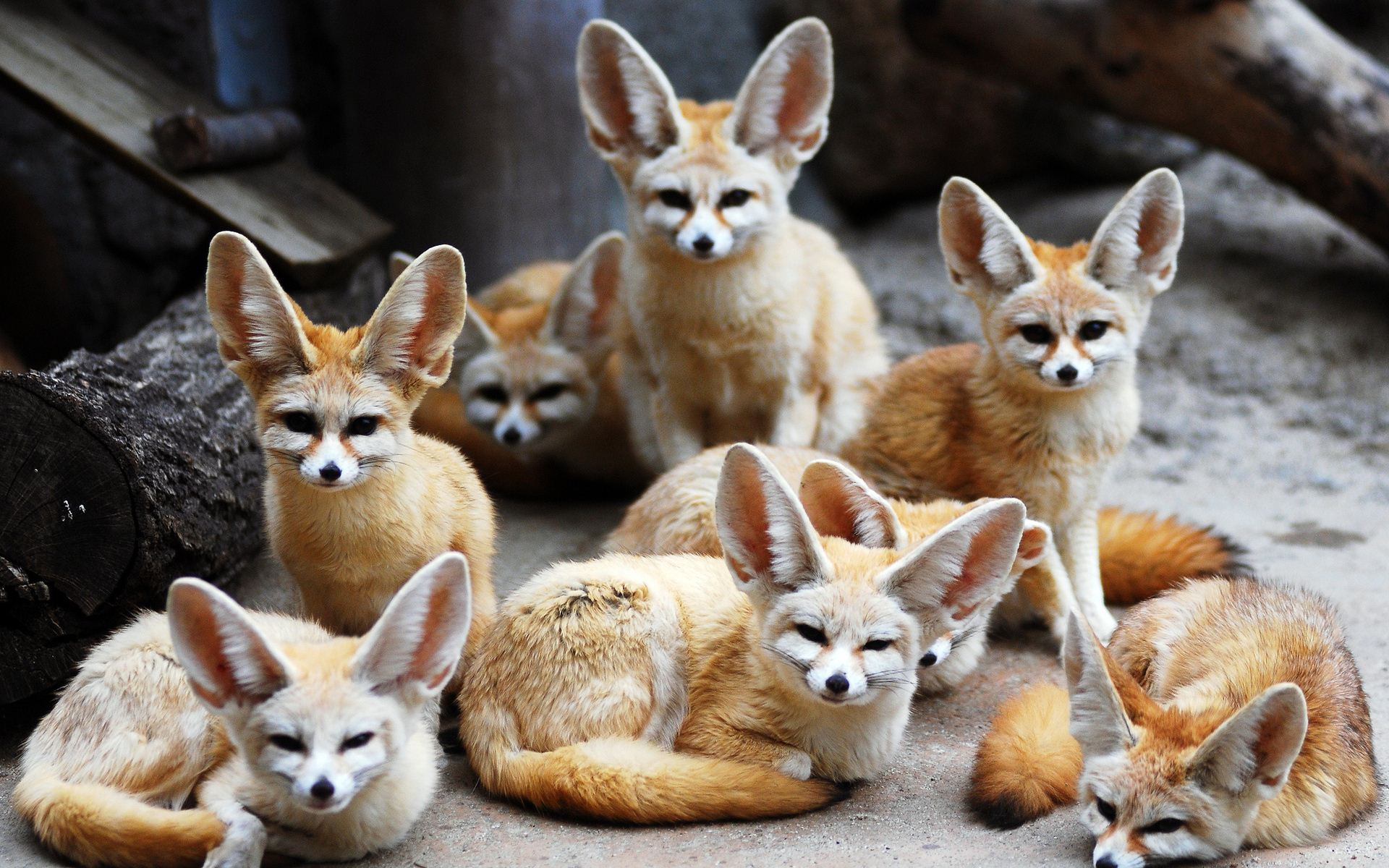 13 Excellent Hd Fennec Fox Wallpapers