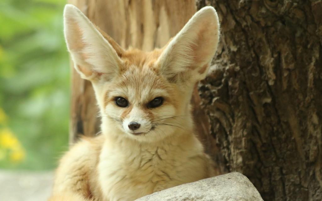 fennec fox desktop wallpapers