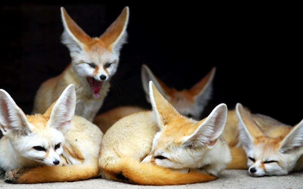 fennec fox wallpapers