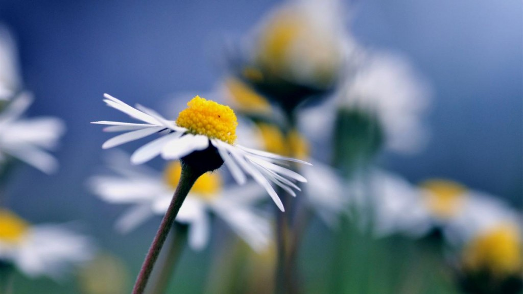 free-chamomile-wallpaper-20232-20741-hd-wallpapers