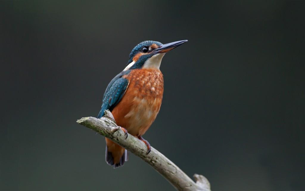 free-kingfisher-wallpaper-38979-39874-hd-wallpapers