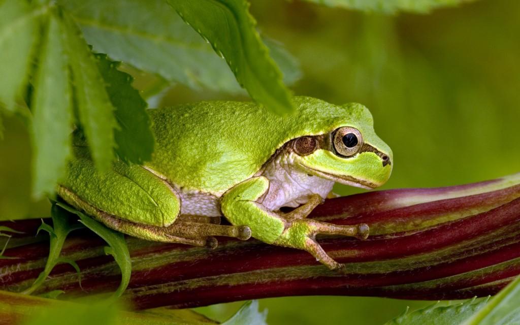 frog-wallpaper-44314-45433-hd-wallpapers