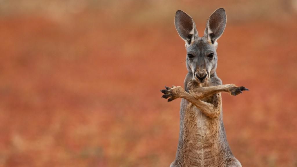 funny-kangaroo-wallpaper-23903-24559-hd-wallpapers