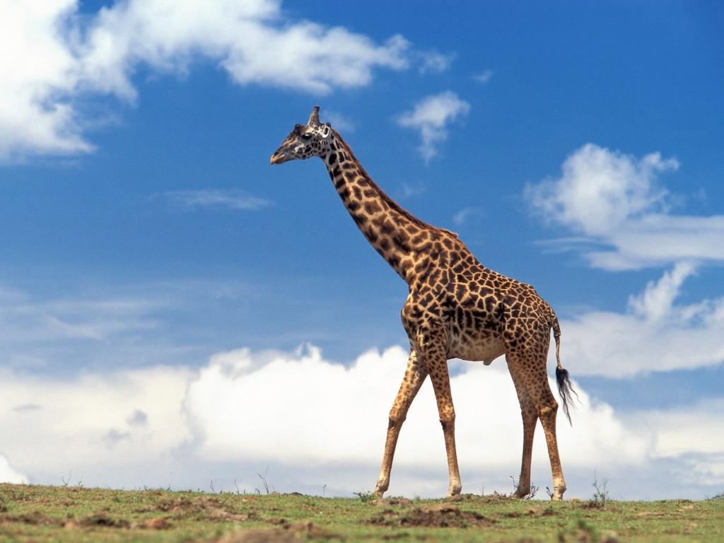 giraffe-computer-wallpaper-50164-51851-hd-wallpapers