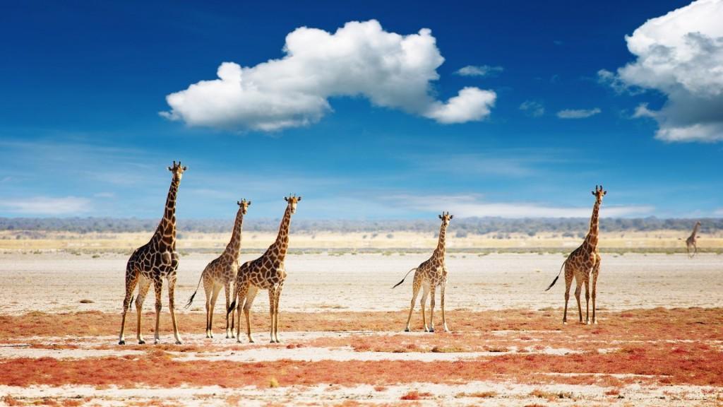 giraffes-desktop-wallpaper-50167-51854-hd-wallpapers