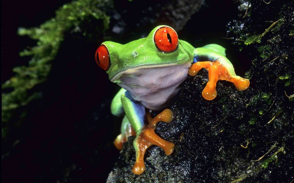 green-frog-33417-34174-hd-wallpapers