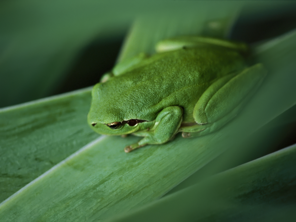 green-frog-pictures-33411-34168-hd-wallpapers.jpg