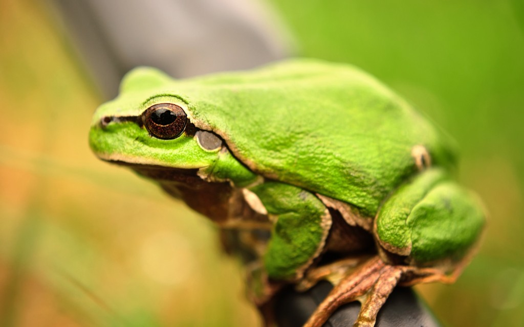 green frog wallpapers