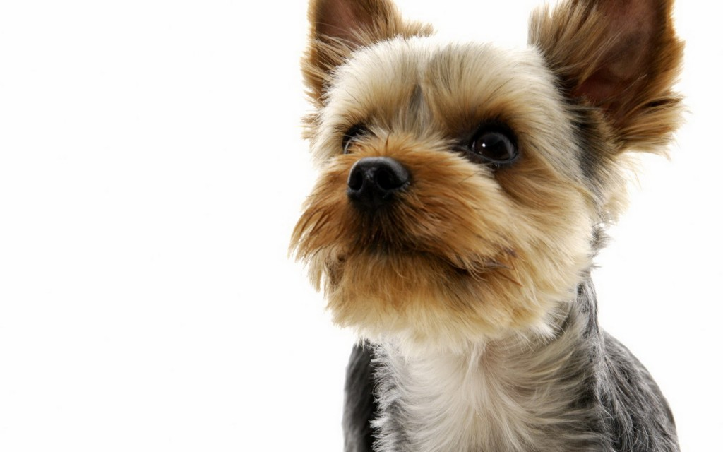 hd-yorkie-wallpaper-24221-24884-hd-wallpapers