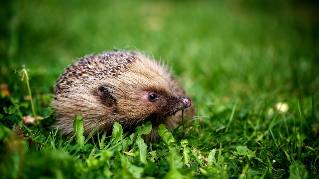 hedgehog animal desktop wallpapers