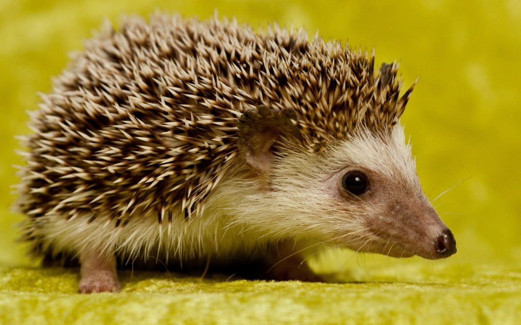 hedgehog-animal-wallpaper-background-50470-52161-hd-wallpapers