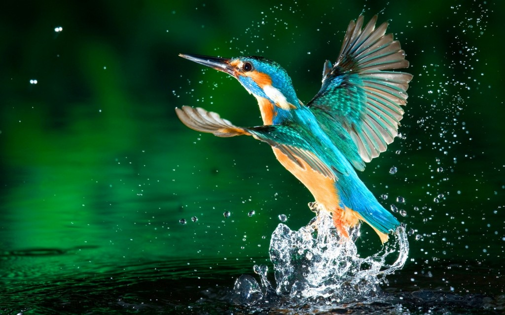 kingfisher pictures