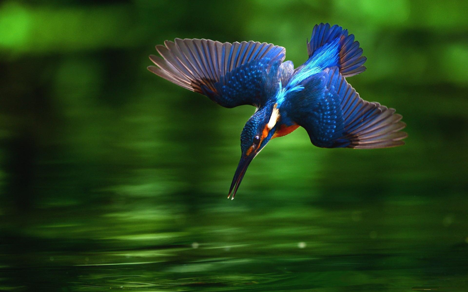 14 Hd Kingfisher Bird Wallpapers