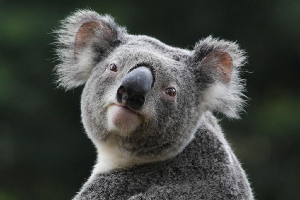 koala-37425-38284-hd-wallpapers