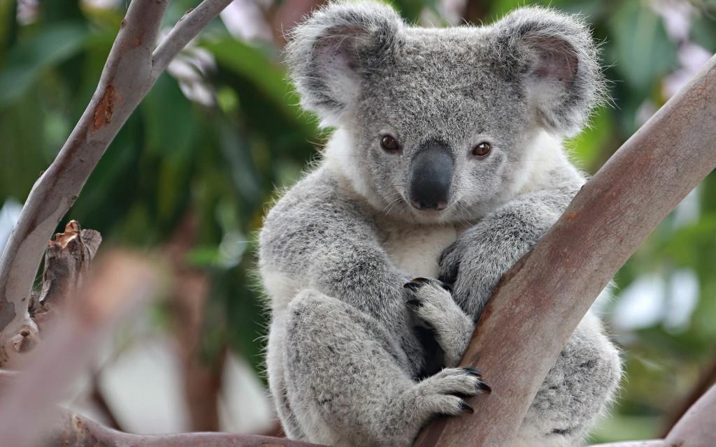 koala desktop wallpapers