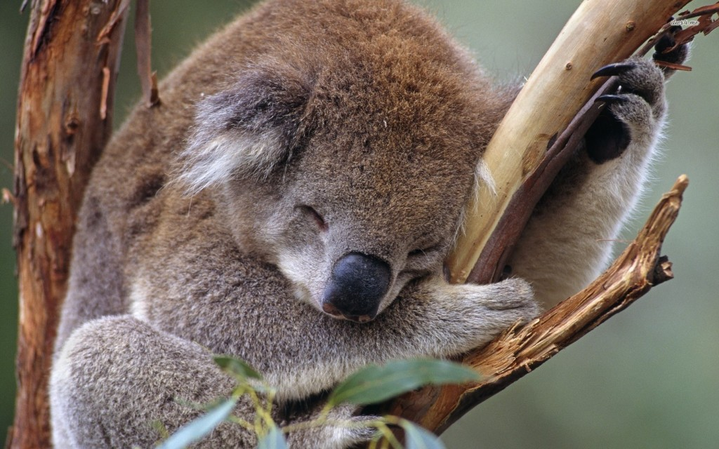 koala pictures wallpapers