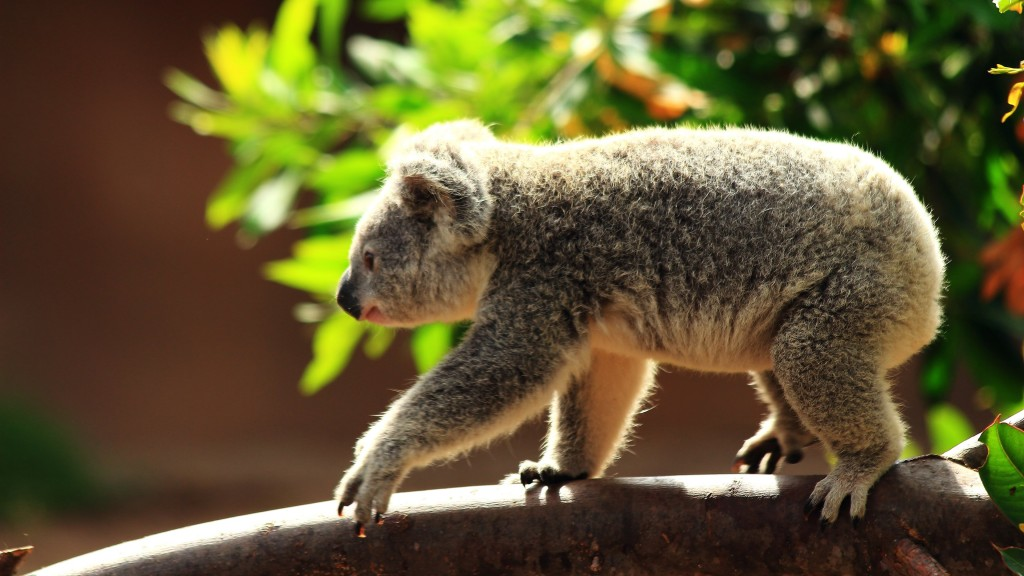 koala wide pictures wallpapers