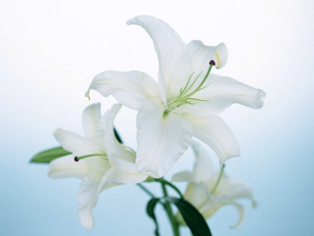 lily-flower-computer-wallpaper-50632-52324-hd-wallpapers
