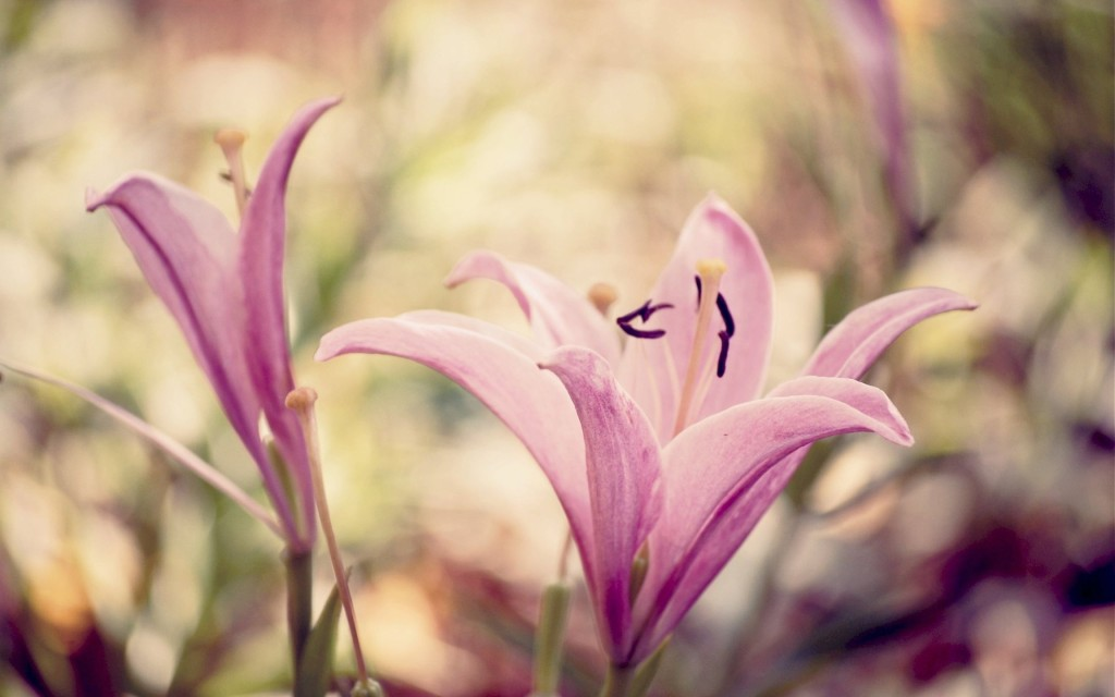 lily flowers widescreen wallpapers