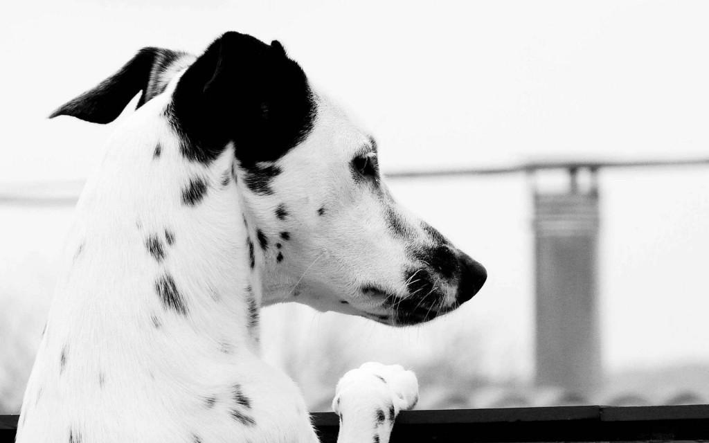 monochrome-dalmatian-dog-wallpaper-50354-52045-hd-wallpapers