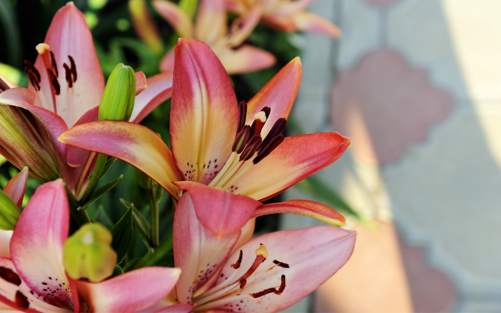pretty-lily-flower-41037-42006-hd-wallpapers