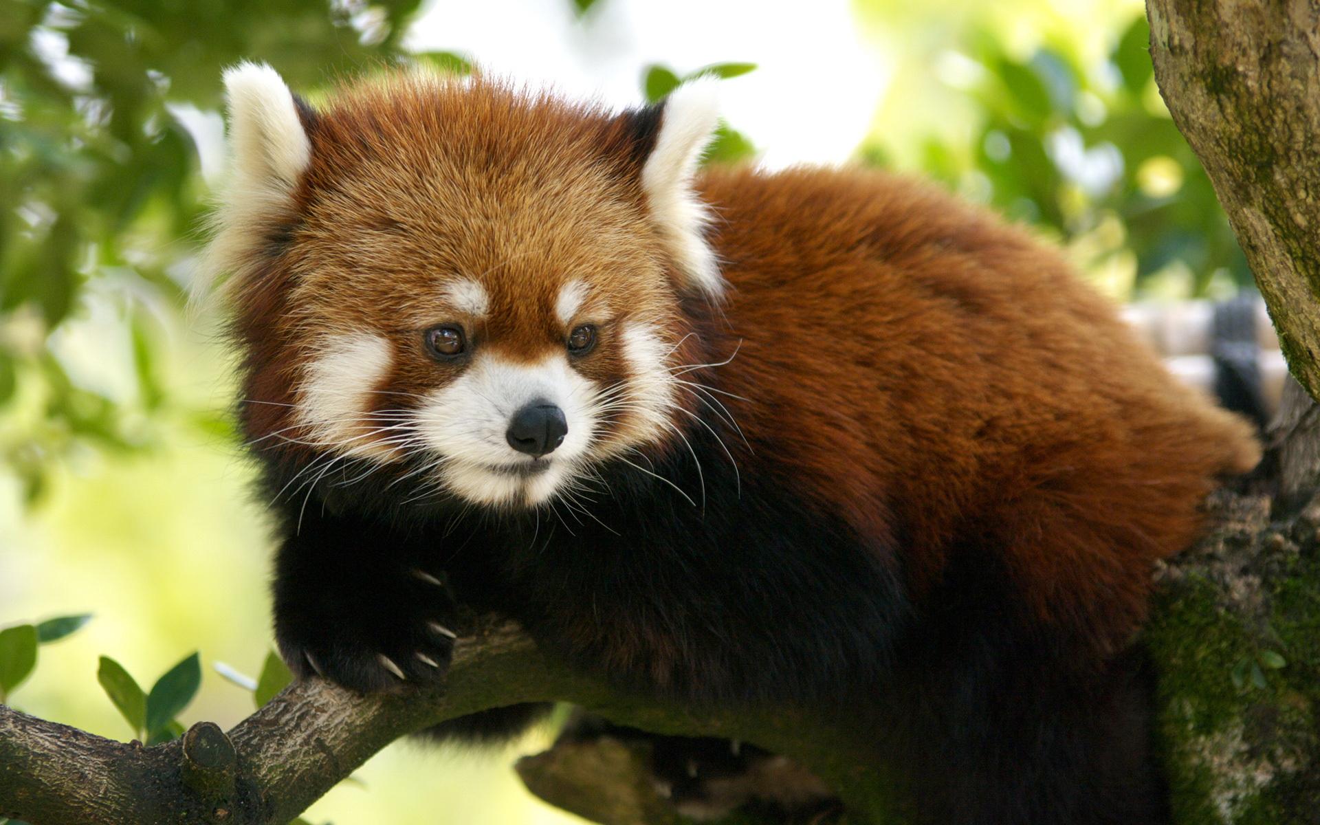 28 Wonderful Hd Red Panda Wallpapers