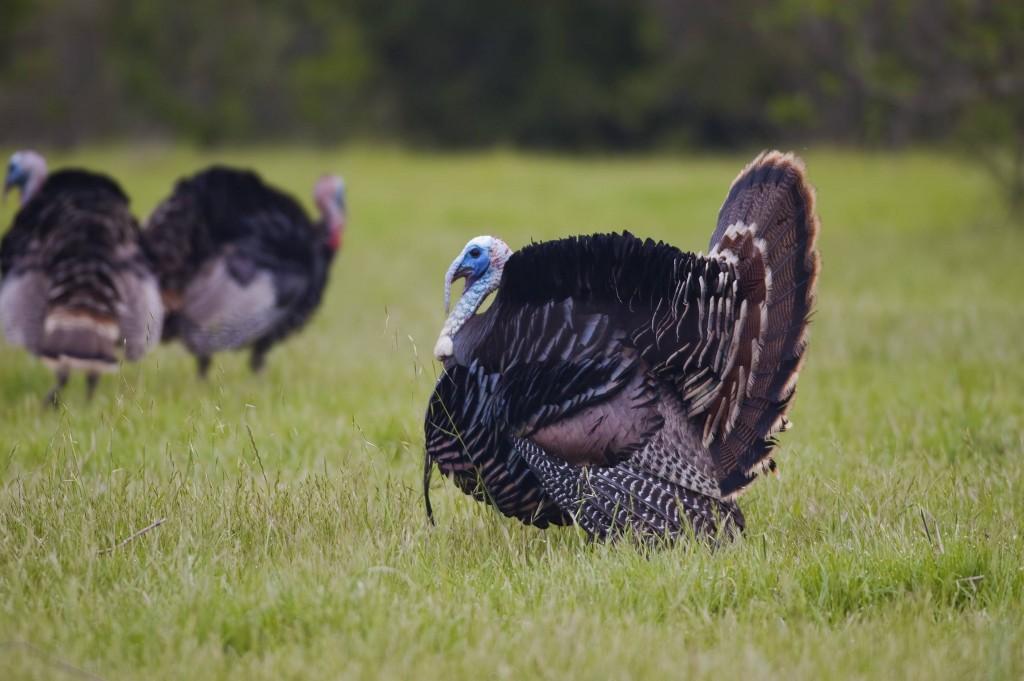 turkey bird widescreen wallpapers