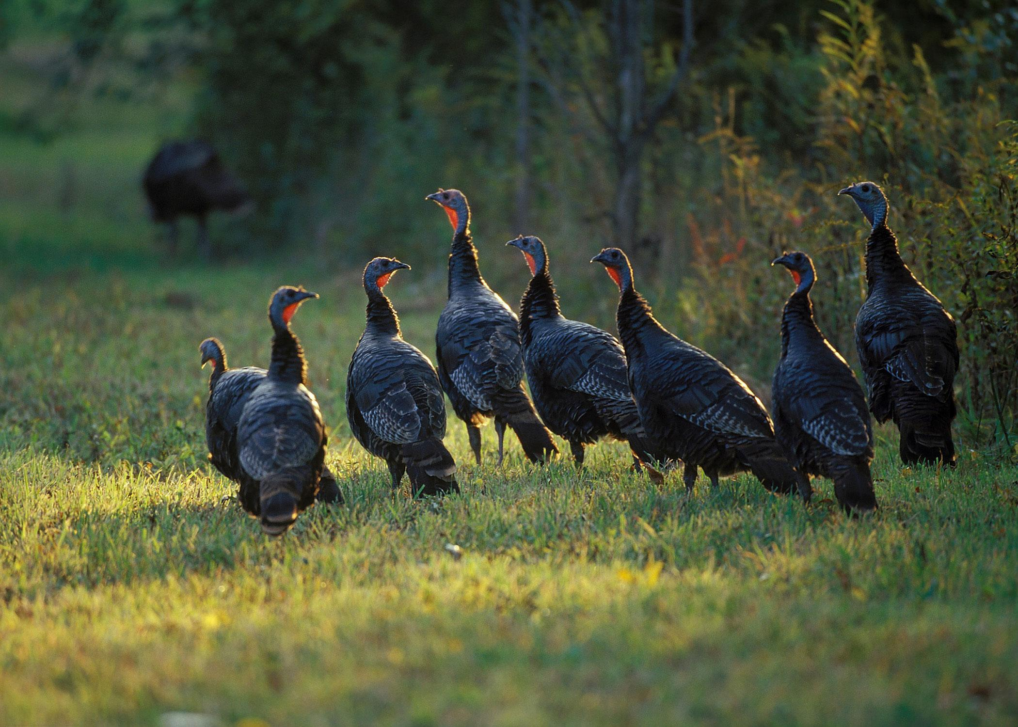 7 Fantastic HD Turkey Bird Wallpapers