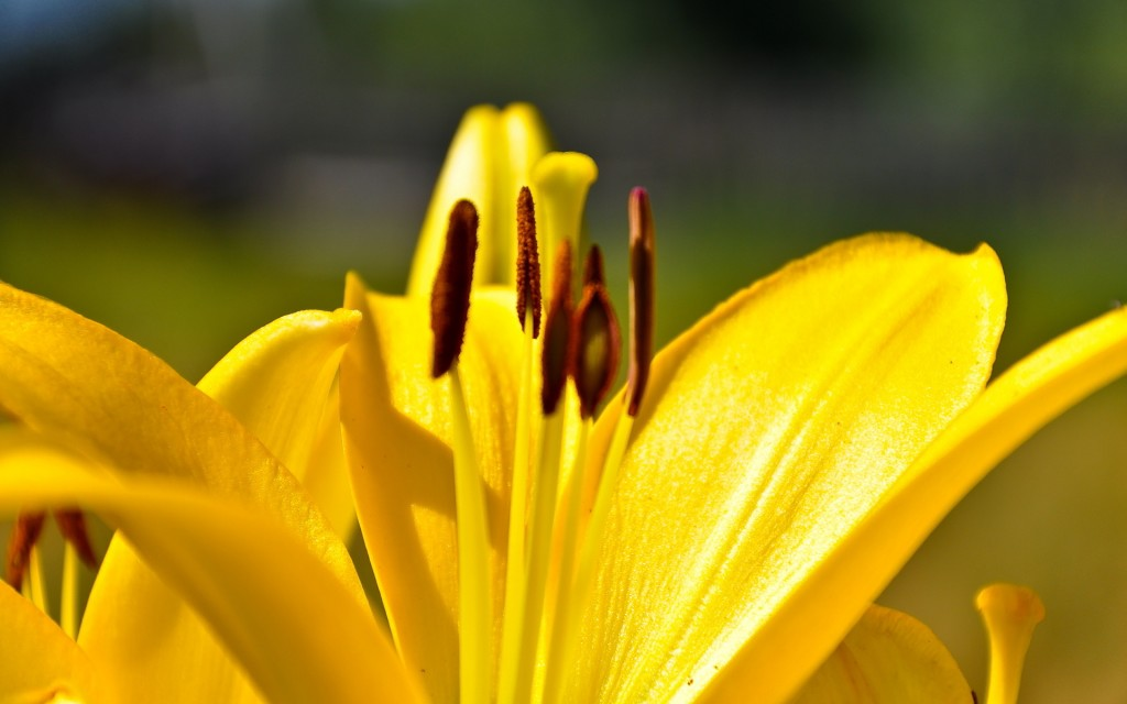 yellow-lily-flower-up-close-wallpaper-50640-52332-hd-wallpapers