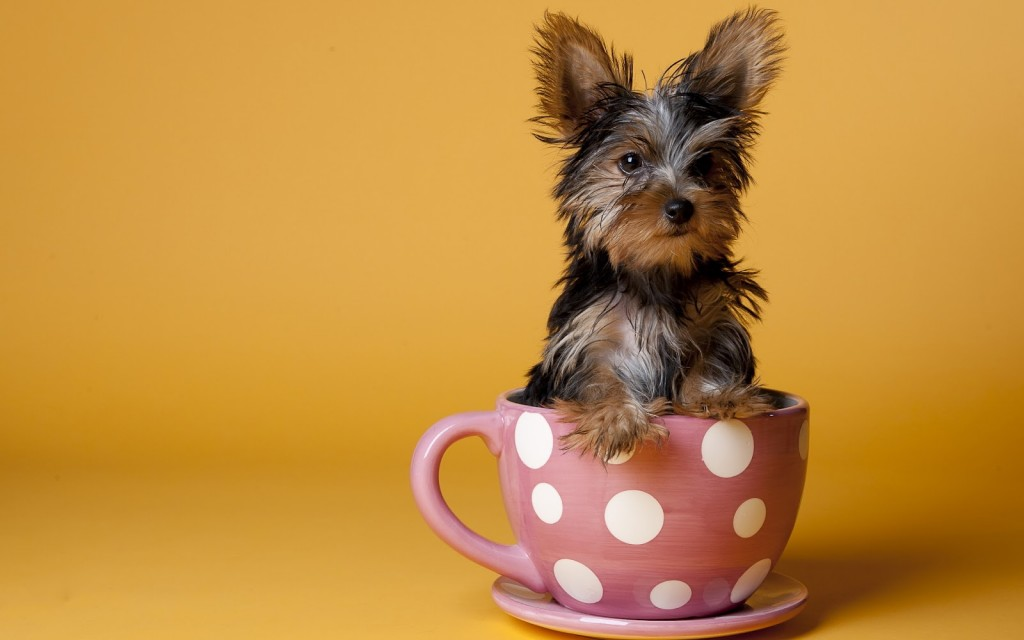 yorkie-wallpaper-24219-24882-hd-wallpapers