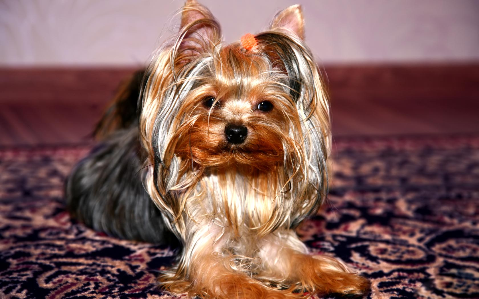 18 hd yorkshire terrier dog wallpapers