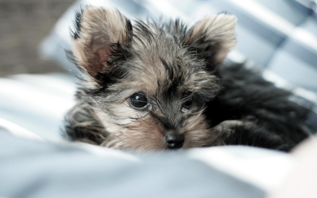 yorkshire terrier background wallpapers