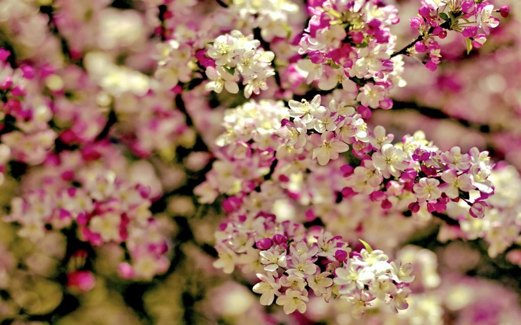 beautiful-sakura-wallpaper-43397-44443-hd-wallpapers