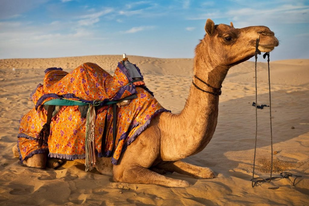 camel computer pictures wallpapers